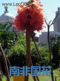 《南非国花》电影海报